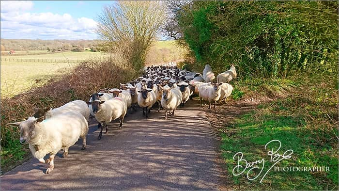 sheep in country lane