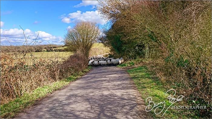 sheep in lane